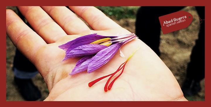 Saffron, the world's most expensive spice